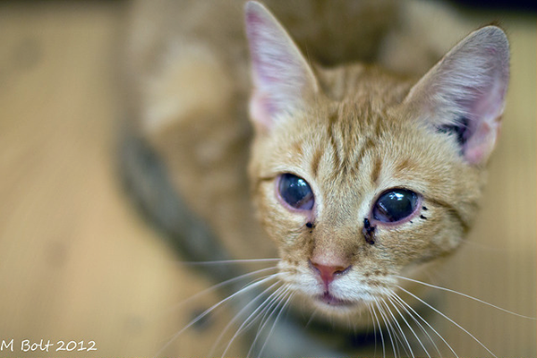 An orange cat who has become partially blind due to an untreated respiratory infection. Photo CC-BY-ND M. Bolt