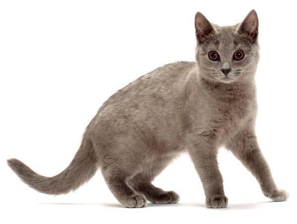 Chartreux-kitten