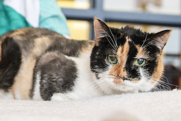 Hidey The Calico Spent Years Under A Heavy Coat Her Own