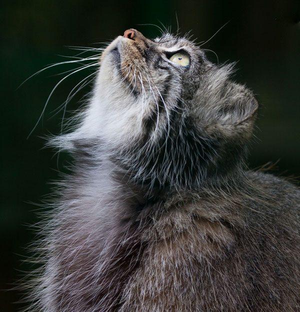 Pallas-cat-01-36842764