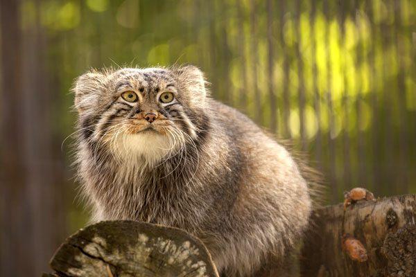 Pallas-cat-02-536369032