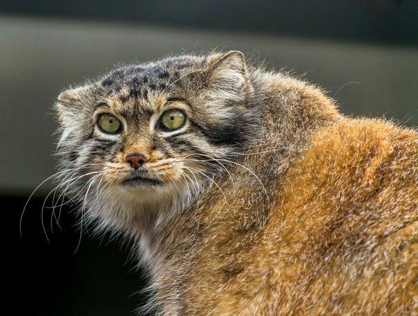 Pallas-cat-03-289932665