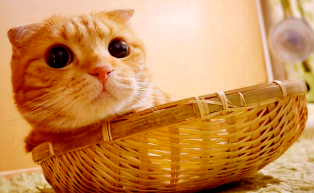 Muta Is A Cartoonish Scottish Fold Who Ll Kill You With Cute Catster