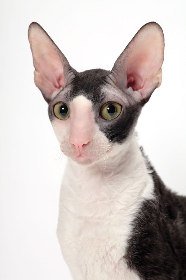 Who S That Cat 14 Reasons To Celebrate The Cornish Rex