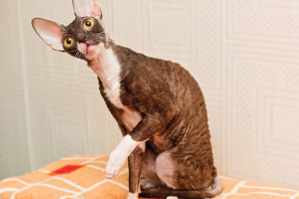 A Cornish Rex cat.