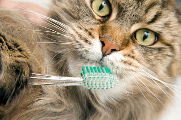 A cat getting his teeth brushed.