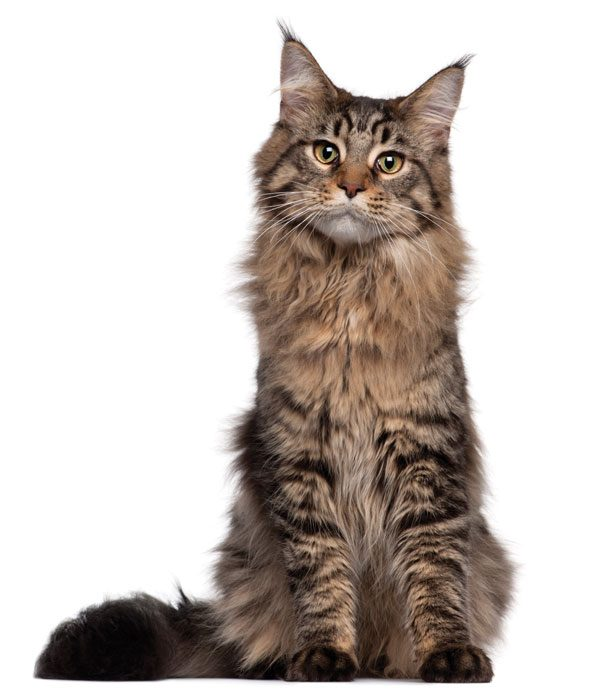 Big Maine Coon Cat Video