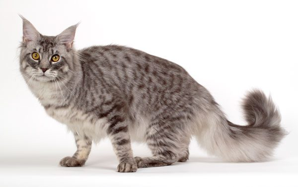 maine-coon-06