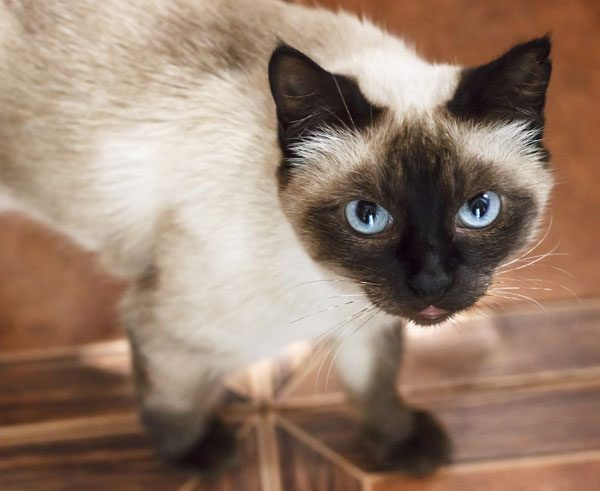 Some breeds, like the Siamese, have a reputation for being loud and vocal. Photo by Shutterstock
