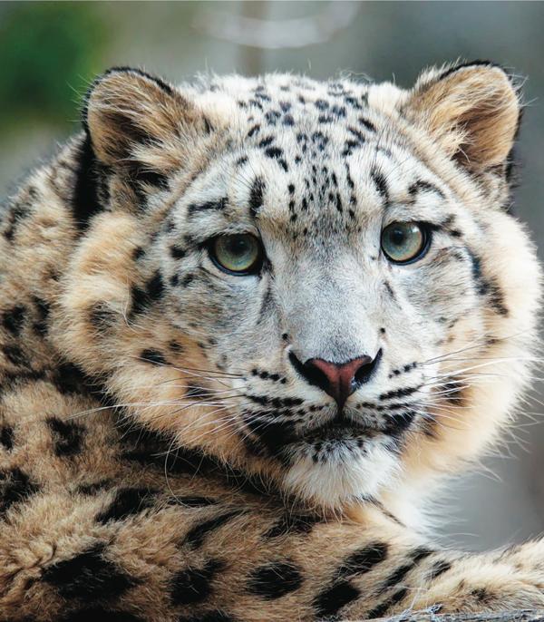 snow-leopards-closeup