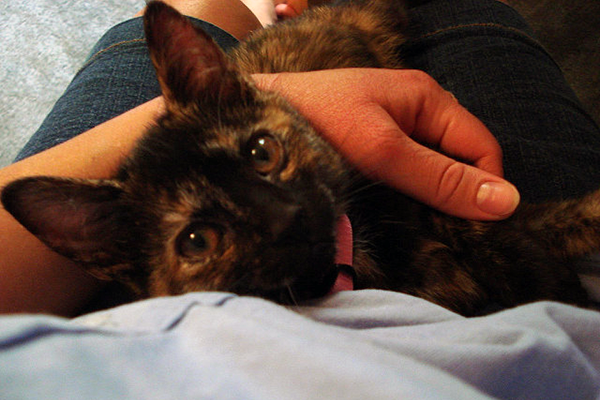 A tortoiseshell cat in a person's lap.