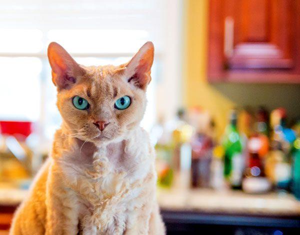 vet-cat-health-facts-spleen-01