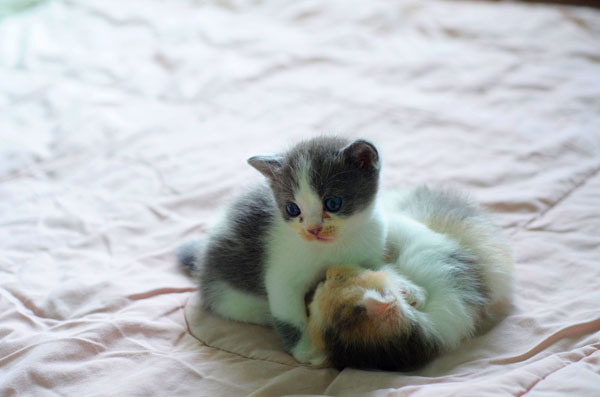 What Is Fading Kitten Syndrome and Why Do So Many Foster Kittens Die