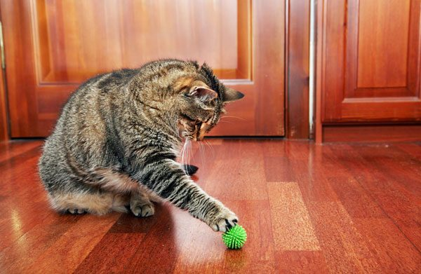 An elderly cat tagging a toy.