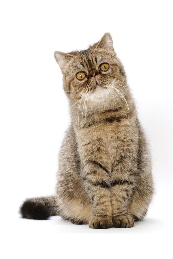 cat-breeds-Exotic-01