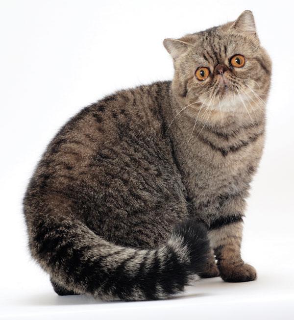 cat-breeds-Exotic-03