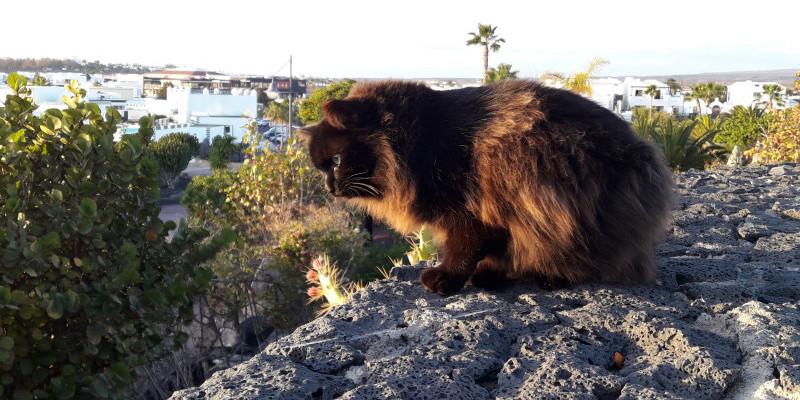 longhaired-black-cat