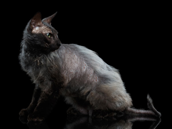 werewolf-cat-01-410576134