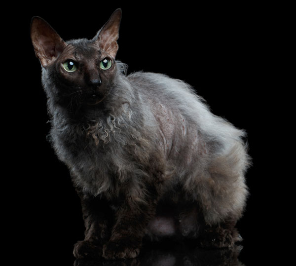 werewolf-cat-02-410576095