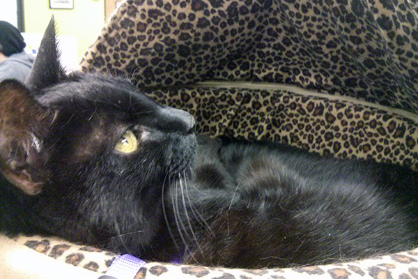 Siouxsie loved coming to work with me. Here she is in her favorite heated bed.