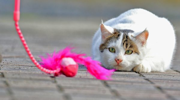 Cat playing with a pole toy. Photo by Shutterstock