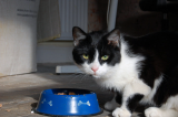 A black and white cat eating food.