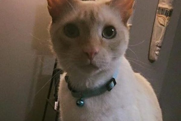 Cox's rescue kitty, Odin, a flame-point Siamese.
