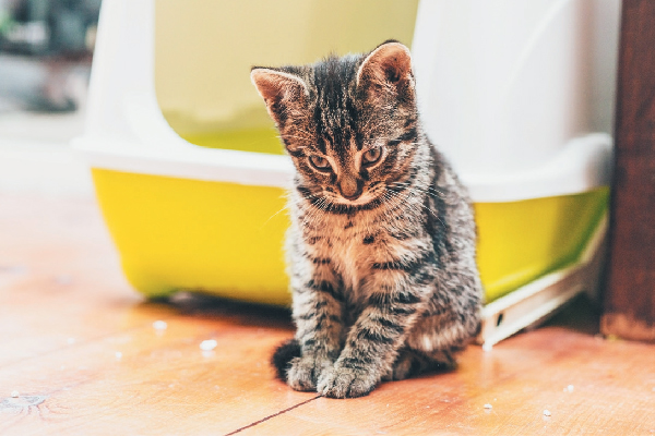 A tabby kitten looking ashamed outside of the litter box.