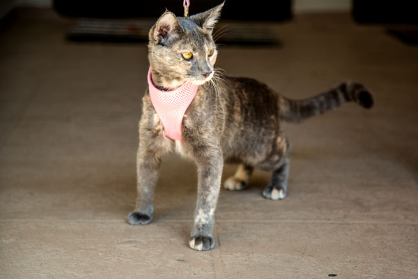 A cat in a cat harness on a leash.