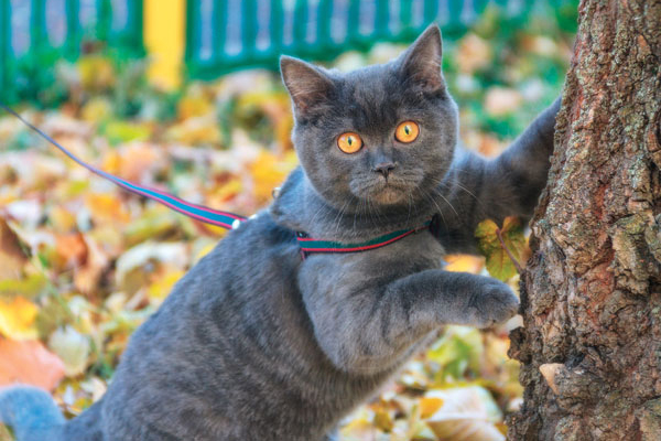 A cat in a harness that's attached to a leash.