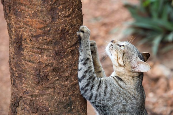 A gray tabby cat scratching a tree outside.