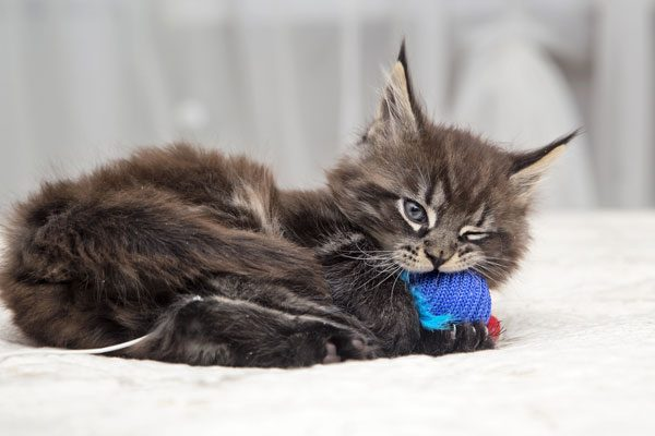 Kitten toys should be safe — without pieces that can be chewed off and swallowed.