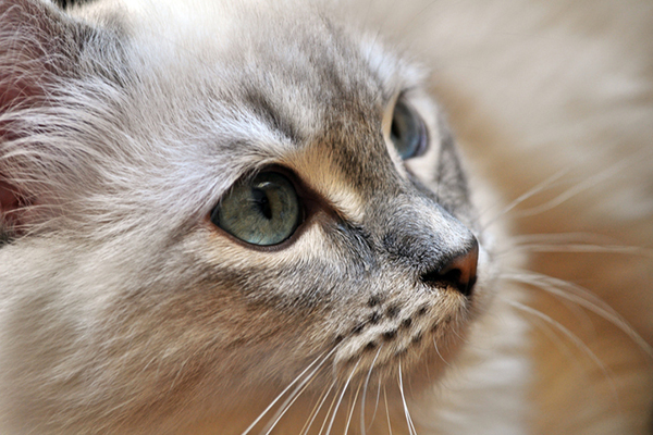 A gray senior cat with blue eyes.