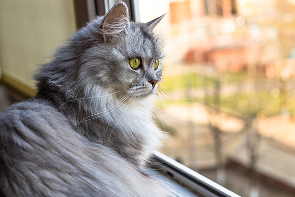 A gray cat looking out a window.