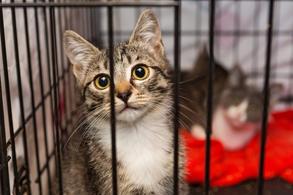 A tabby cat kitten in a shelter cage.