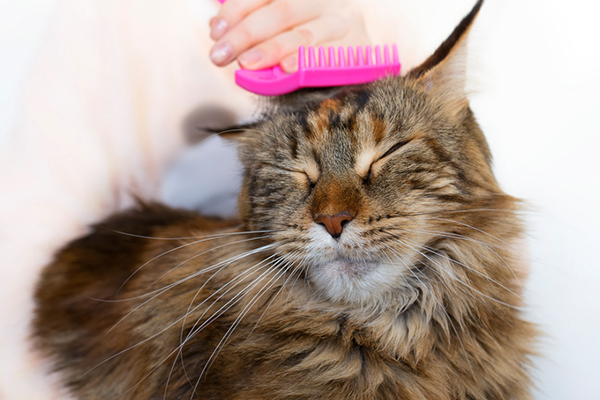 A fluffy brown cat getting groomed with a pink brush.