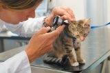 A kitten getting checked for ear mites at the vet.