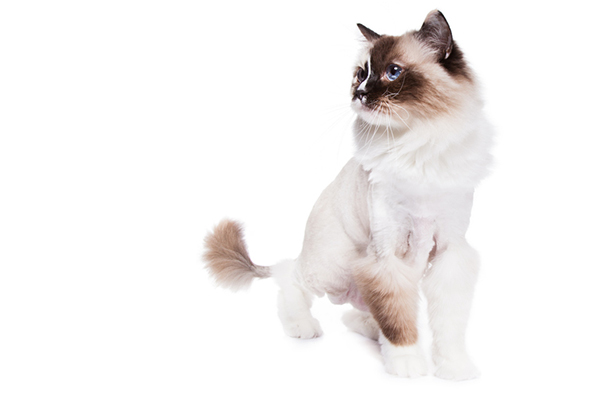 A cat shaved with a lion cut.