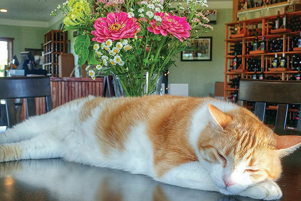 An orange and white cat asleep at a winery.
