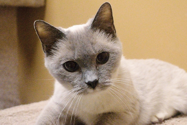 Silver Belle A Senior Siamese Cat Gets A Second Chance