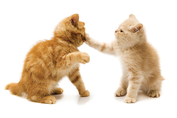 Two ginger kittens fighting.
