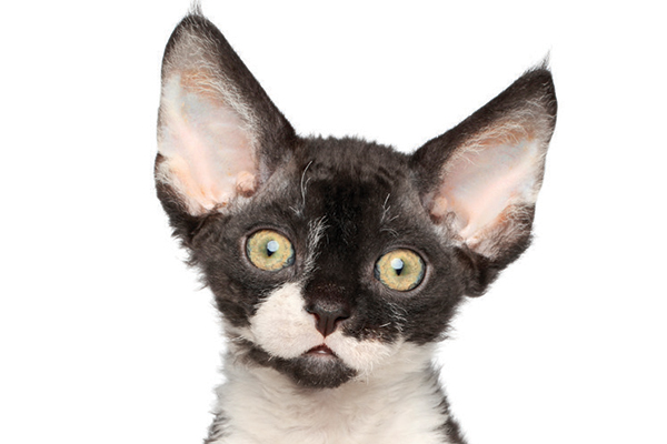 A black and white Devon Rex kitten.
