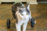 A special-needs cat with wheels for his hind legs.