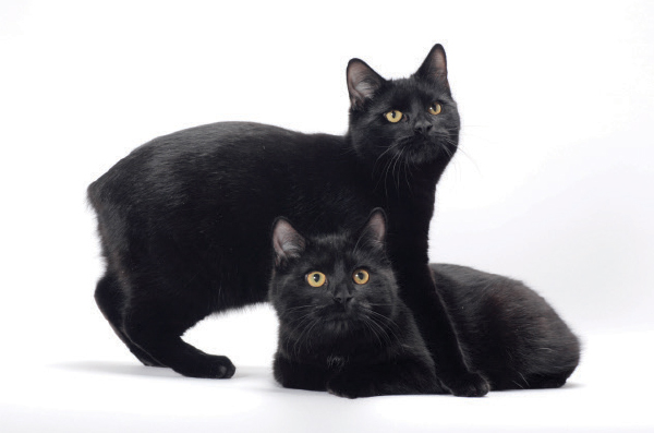 Two black Manx cats.