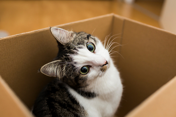A brown and white cat peeking out of a cardboard box.
