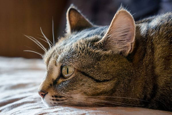 A tabby cat, lying down and upset. Photography by Eugene03/Thinkstock.