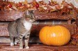 A brown tabby cat with a pumpkin in the fall.