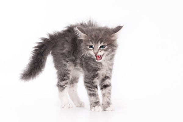 A gray kitten hissing.