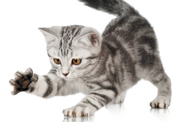 A gray kitten getting ready to scratch.