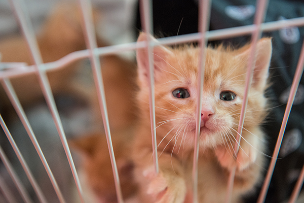 Orange kitten in a shelter cage. Photography by Brigette Supernova.